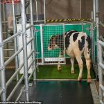 MooLoo: Scientists potty-train cows to urinate in a special toilet to help cut greenhouse emissions 💥👩💥