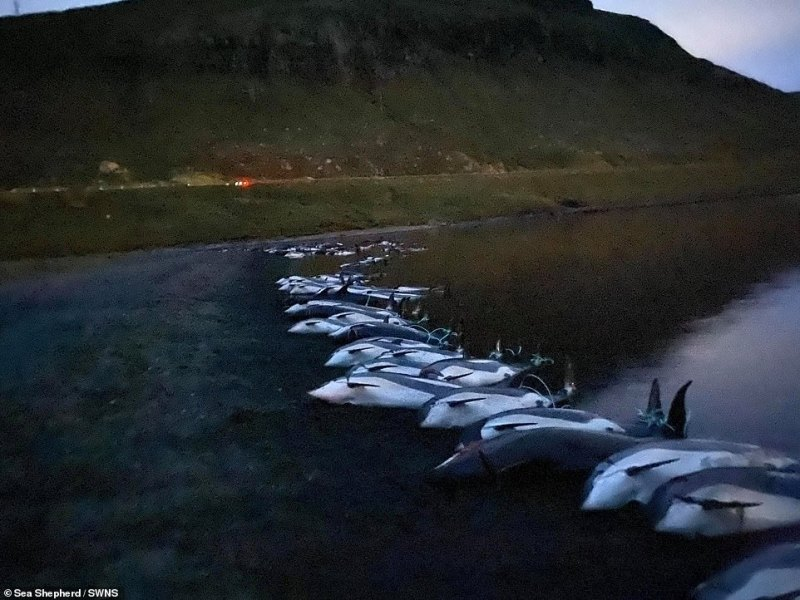 The latest mass killing is the biggest ever documented in the Faroe Islands where locals take part in the carnage, known as the Grindadrap or Grind in Faroese