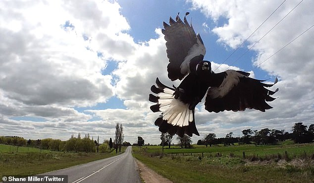The fearless cyclist shared tips for dealing with magpies such as wearing protective gear that covers your ears, neck and eyes as well as making sure to hold eye contact with the bird