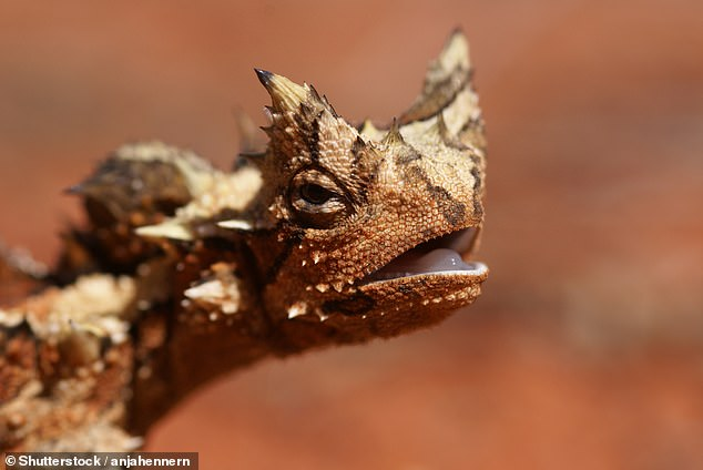 According to Dr Bell — who is an expert in dinosaur skin — the large studs and small scales seen on the Carnotaurus specimen resembles those seen on the thorny devil lizard (pictured in close-up above) that lives today in the Australian Outback