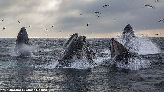 Sperm-whales may have become super swarms in New South Wales for two consecutive September as cruise ships and other sea traffic have disappeared during the pandemic.  It is also possible that they were simply exhibiting specific behavior that stopped when the whales were hunted almost to extinction.  Pictured: A pod of humpback whale lunge feed in Monterey Bay, California