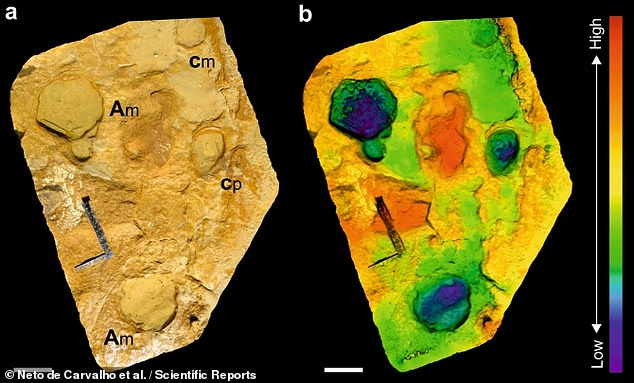The other two sets of prints - which were about 20 inches (50 cm) in length - were more likely to have been made by adult males weighing about seven tons.  Image: A photo (left) and 3D scan (right) of some tracks with adult and calf footprints next to each other