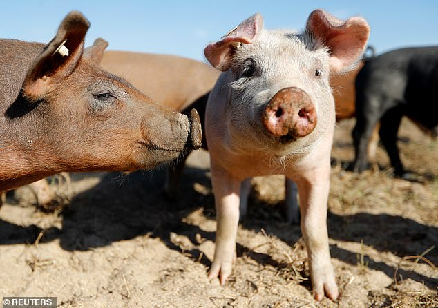 A lack of CO2 means that those working in the meat industry are unable to stun their animals before slaughtering them - as well as increasing the shelf life of packaged foods (stock image)