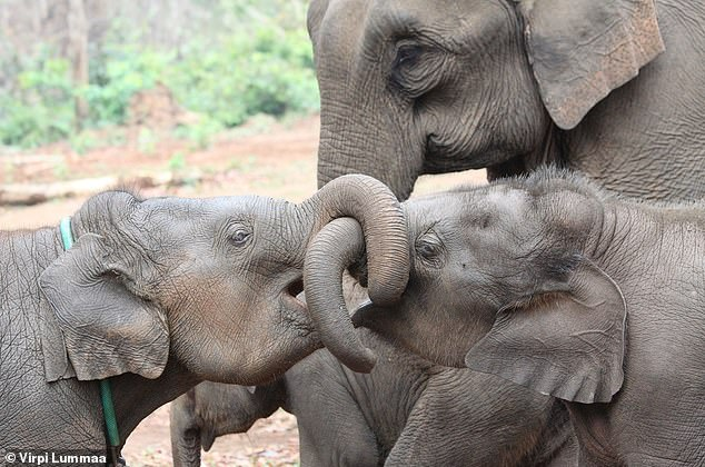 Pictured, Asian elephant siblings.  Overall, the presence of an older sibling of either sex in the Asian elephant (Elephas maximus) population in Myanmar increased the long-term survival of the calf compared to the absence of a sibling, researchers report.