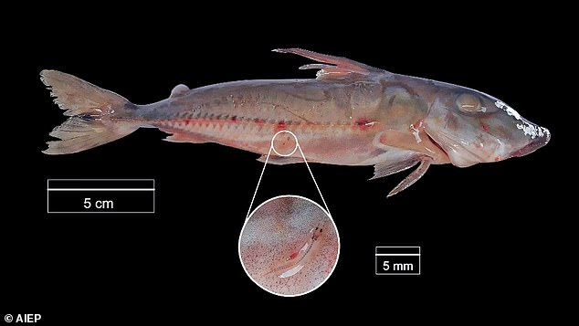 While conducting research in April 2019, ichthyologist Chiara Lubich noticed that Paracanthropoma (inset) had several-inch-long candiru that were attached to the sides of spiny catfish.