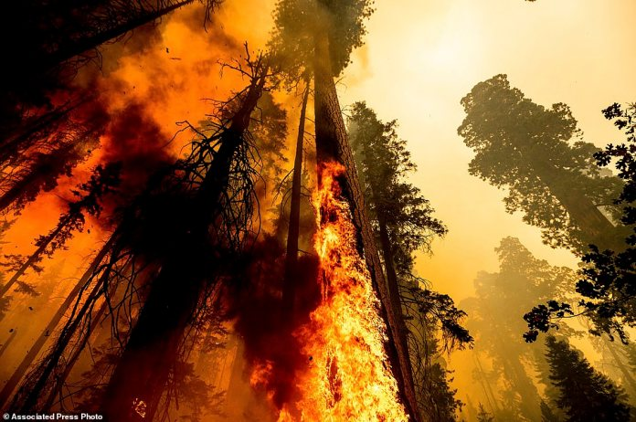 Flames lick up a sequoia tree as the Windy Fire burns in the Trail of 100 Giants grove in Sequoia National Forest