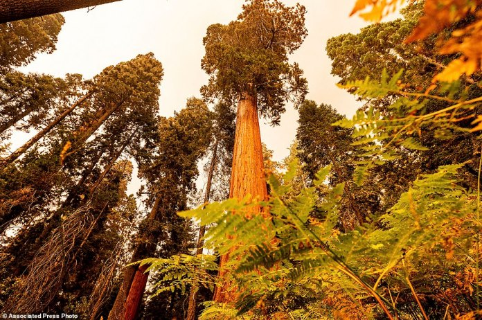 Sequoia trees stand in Lost Grove along Generals Highway as the KNP Complex Fire burns
