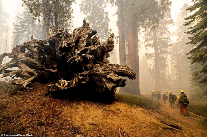 Firefighters battle the Windy Fire as it burns in the Trail of 100 Giants grove of Sequoia National Forest. Flames scorched at least two sequoia trees as firefighters worked to defend the grove