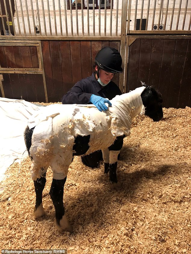 He was rushed Lingfield Equine Vets before being transferred to Redwings Horse Sanctuary (pictured at the sanctuary) in Hapton, Norfolk, where he is being treated around the clock