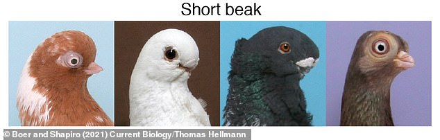 Pictured, short beaked pigeon breeds, from left to right - English short faced tumbler, African owl, Oriental frill, Budapest tumbler.  All birds with short beaks had the same ROR2 mutation