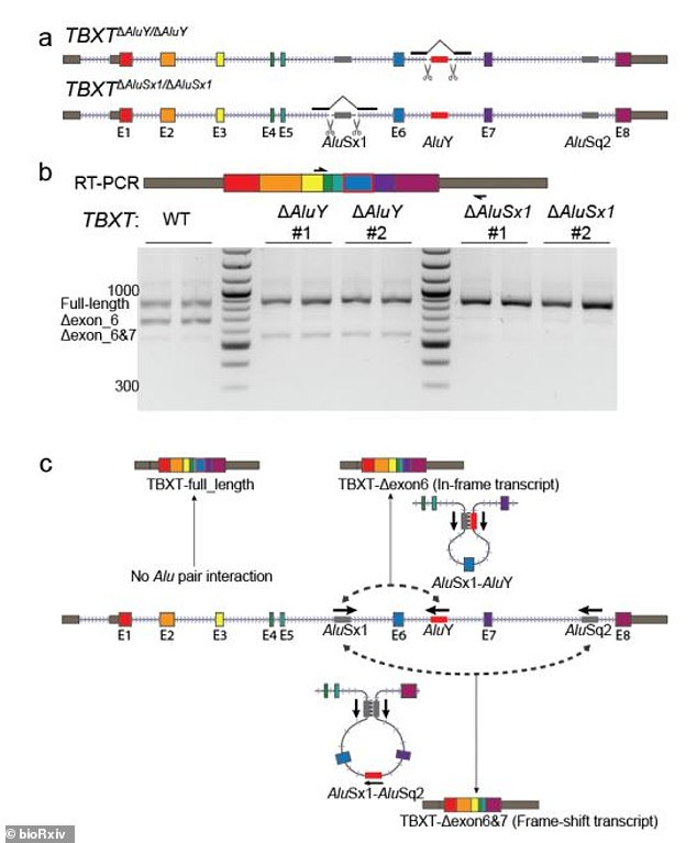 In this mutation there are 300 genetic letters in the middle of the TBXT gene.