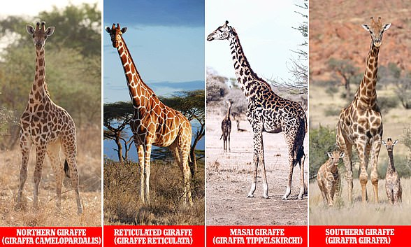 Efforts to map the genome of the giraffe have confirmed that there are four distinct species, and that they are as different from each other as brown bears are from polar bears.