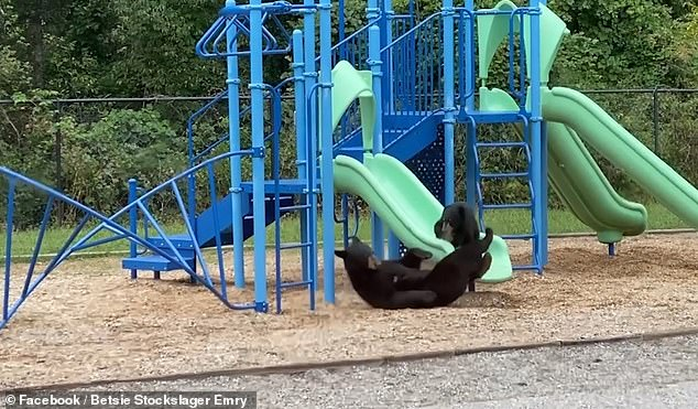Teachers at Isaac Dickson Elementary School were left stunned when they looked out the window at to see a mother bear and a cub playing on the jungle gym