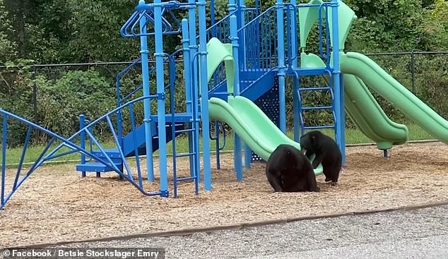 Adorable footage, shared to social media on September 21, shows the black bear teaching her cub how to use the playground slide