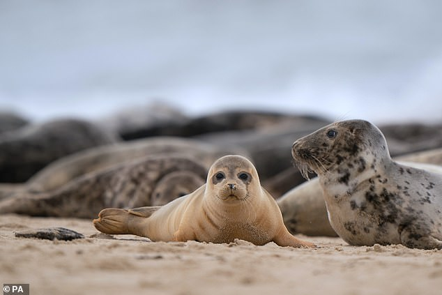 A common seal pup on the beach at Horsey Gap in Norfolk, as hundreds of pregnant grey seals come ashore ready for the start of their pupping season this month