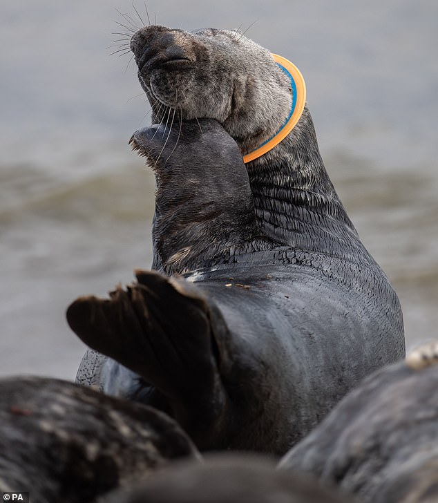 In 2019, a seal nicknamed Mrs Vicar was pictured with a plastic frisbee stuck around its neck amongst the colony on the beach at Horsey in Norfolk