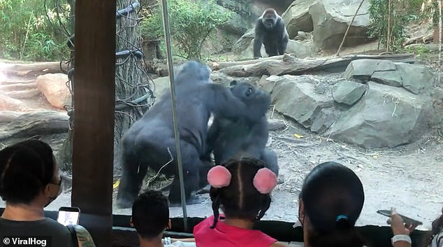 Moments later, the gorilla began performing a sex act on their mate