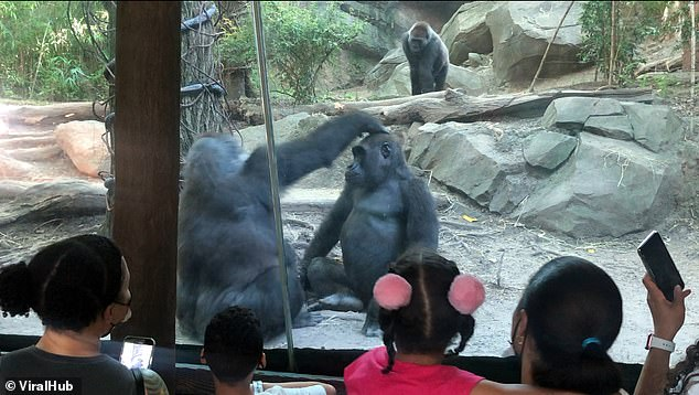 A male gorilla stunned onlookers at the Bronx Zoo by pushing a pal to the floor of their enclosure