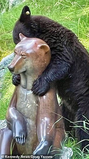 The clip shows the 'love machine' stand on its back legs and begin amorously rubbing its head and face against the polished sculpture, which has sat in Mr Yarrow's yard for around a year