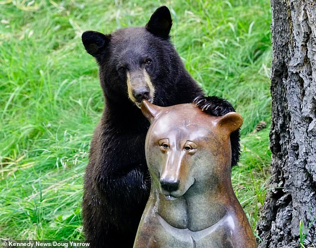 Hilarious footage sees a dopey black bear attempting to bond with what it thought was its new mate, only to be left disappointed as it was really a metal bear statue