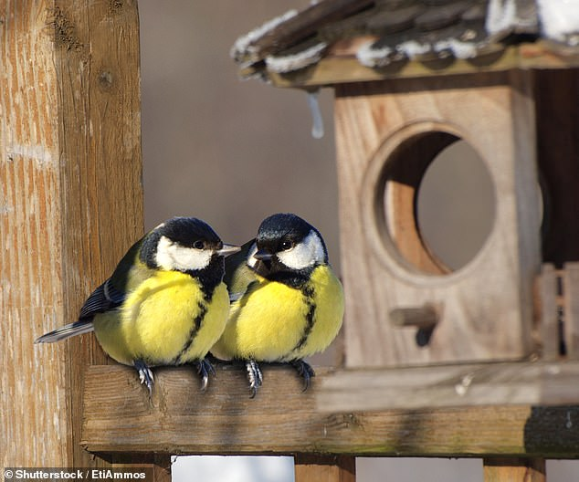 Great tits are laying their eggs up to a fortnight earlier than they did 60 years ago, according to a new study that found it to be a result of climate change.  stock image