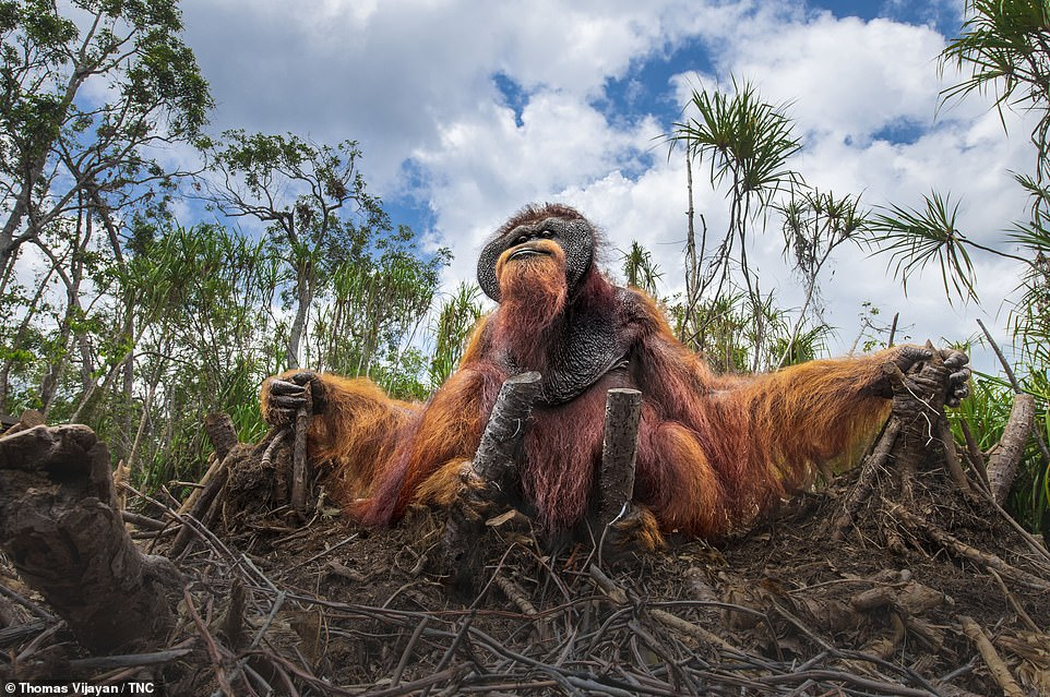 Canadian photographer Thomas Vijayan turned his lens on this orangutan while in Borneo, Indonesia. The resulting picture, showing the creature sitting on a bed of severed palm trees, won an honourable mention in the Wildlife category. Describing the image, Vijayan says: 'It is a sad sight to watch. We humans could have given a second thought before running the axe over these matured trees and snatching the habitat of this gigantic ape.' He adds that the orangutans rely on the trees as a food source. 'Orangutans are accustomed to living on trees and feed on wild fruits like lychees, mangosteens, and figs, and slurp water from holes in trees, but we have options,' he says