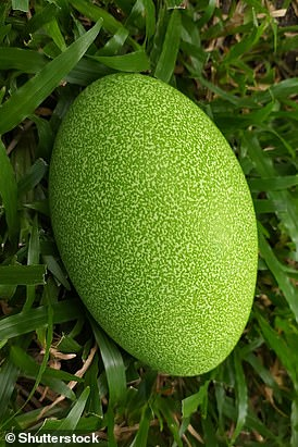Pictured, the vibrant green egg of the Southern Cassowary