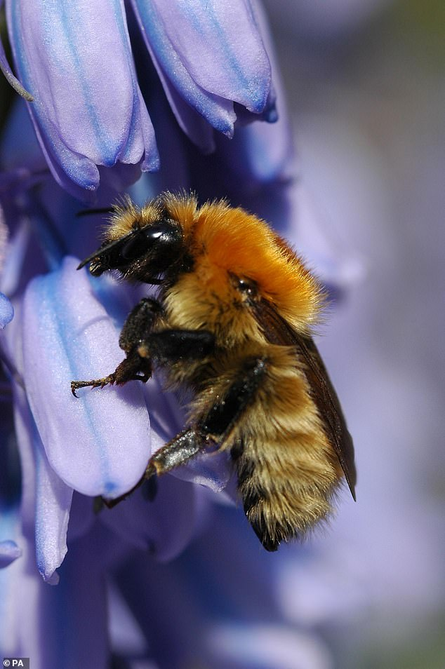 While the American bumblebee once thrived in 47 of the 48 continental states, its population has declined by an average of 89 percent over the past 20 years.  According to the Center for Biological Diversity, they have completely disappeared from at least eight states since the turn of the century, mostly in the Northeast.
