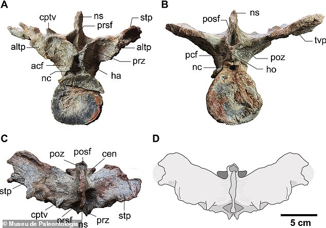 It had a stiff tail and was well adapted for walking, the fossil analysis showed.  Pictured is dinosaur's first caudal vertebra