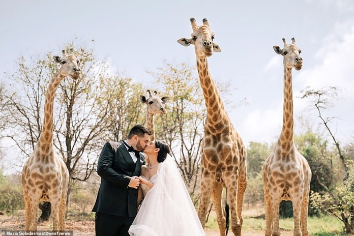 Maria Soloder's £3 million marriage to Joan Schnelzauer has been dubbed the wedding of the year.  The couple is depicted in front of a giraffe