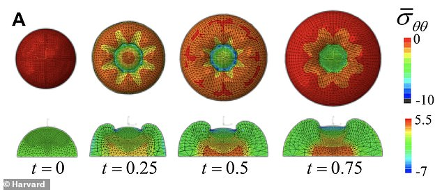 Plain view and cross-section from simulations of apple growth show the temporal evolution of compressive stresses around the central stalk region, which are responsible for the formation of multiple cusps.