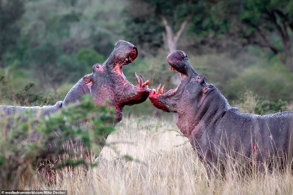 Posting the photos on his Instagram page on September 7, photographer Mike who witnessed the fight summed it up in one word, writing: 'Brutal' - before revealing that two days later the bloated body of a similarly-sized hippo was found floating a couple of kilometers downstream in the Mara River