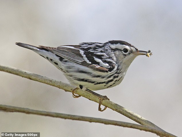 Black and white warblers including others spotted close to airports