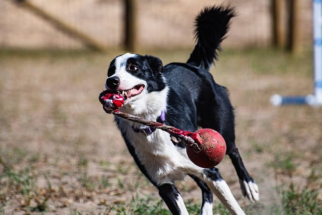 Squall remembers the names of toys and can bring them to order.  Border collies and German shepherds were found to be among the more intelligent breeds participating in the study of how human language is learned