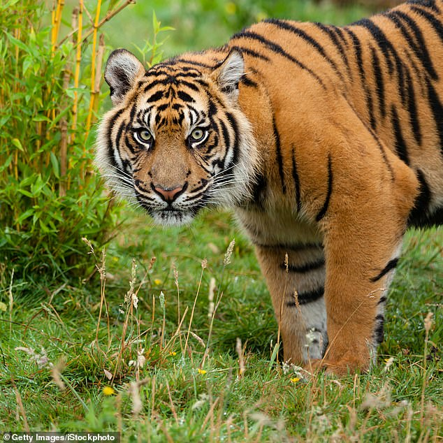 It is estimated that there are less than 400 Sumatran tigers in the wild and less than 250 in zoos around the world.