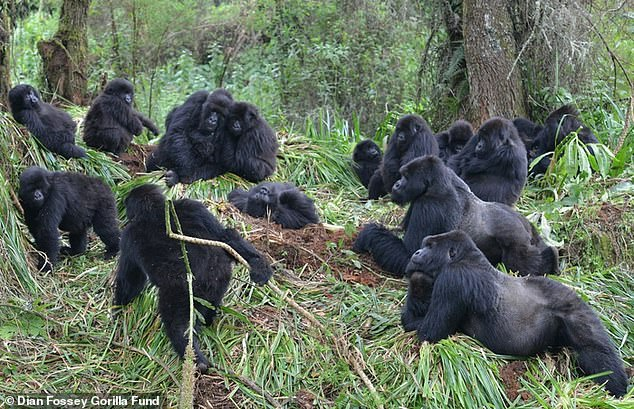 Keep a distance!  Coughs and colds also spread faster among mountain gorillas when they stand close to each other, a new study has found.