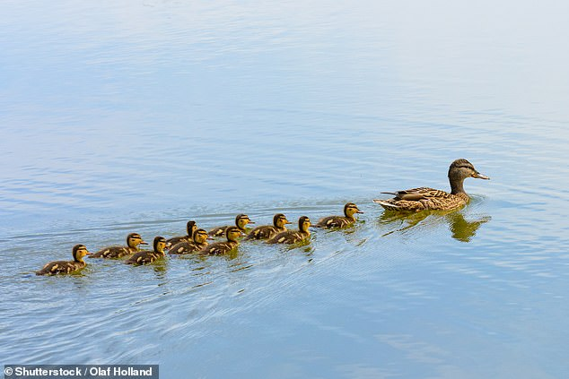 There is something curiously heart-warming about watching a family of tiny ducklings or goslings swimming behind their mother (stock image)