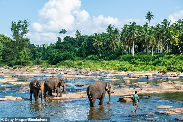Sri Lanka has a lot to offer, from elephant-filled national parks to tea estates. Pictured are elephants in the Sri Lankan village of Pinnawala