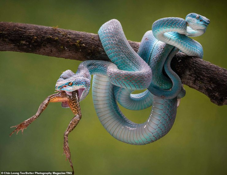 This shot of a blue viper, ahighly venomous pit viper sub-species native to Southeast Asia, eating a frog whole, picked up a Gold Award in the Revealing Nature category forChin Leong Teo