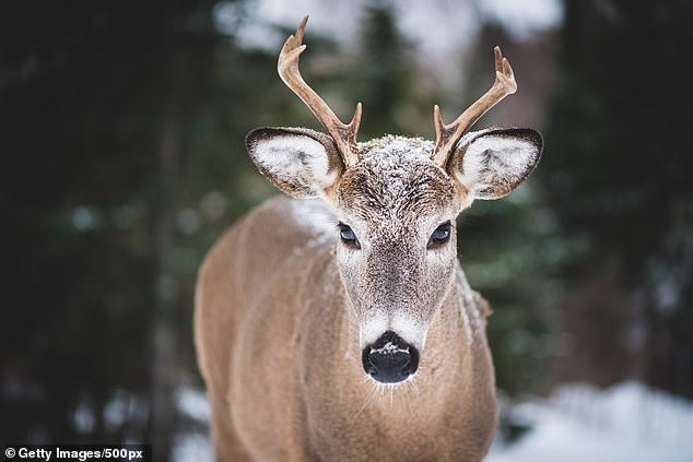 CWD, which is always fatal, is believed to be transmitted through contaminated body fluids, drinking water, or food.  The disease is not known to infect animals or humans.
