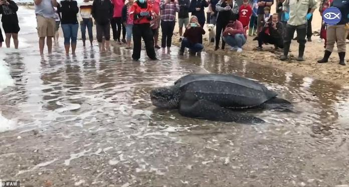 Three groups of volunteers were needed to help relocate the turtle, including checking its health, before releasing it into sea