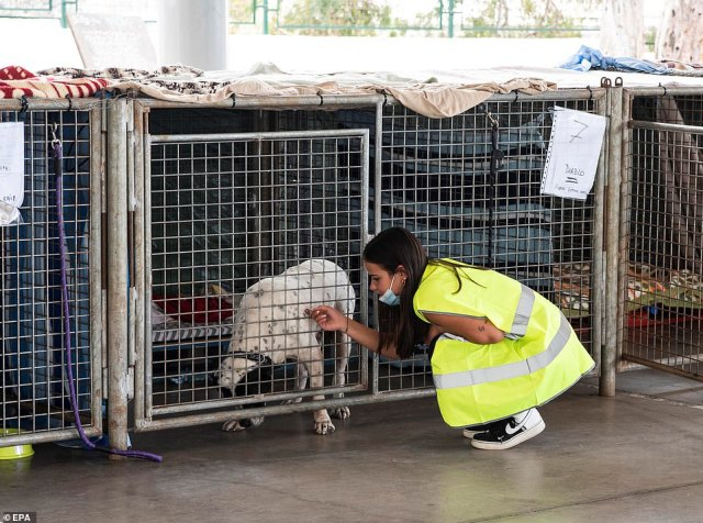A worker strokes a dog at a temporary animal shelter set up in a sports pavilion in Los Llanos, La Palma, on Thursday