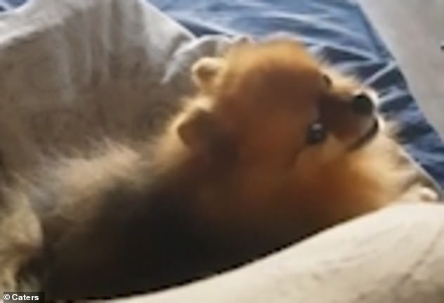 Pomeranians are known to be vocal with their emotions often expressed through their barks