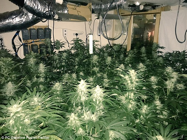 Police say that around 322 plants were seized at the home