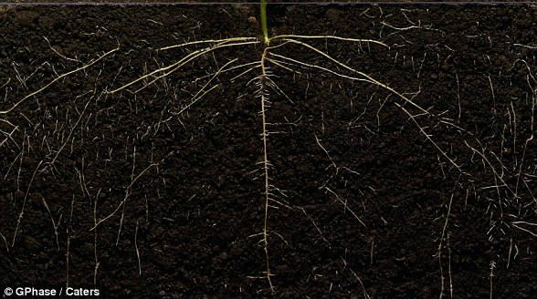 In order for plants to become seeds, they need soils that contain nutrients, water, sunlight, proper temperature, room to grow, and time. When the conditions are just right, the seed sprouts roots deep into the ground to collect water