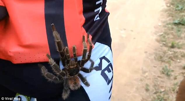 As The Spider Makes Its Way Across Their Back Screams Can Be Heard In The