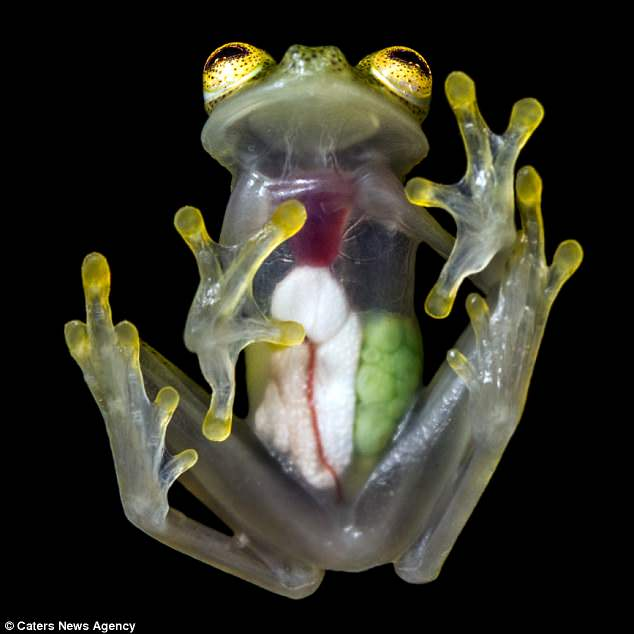 The internal organs of a glass frog are revealed in these photographs. Their camouflage changes in brightness, helping them blend in