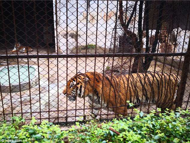 A zookeeper was mauled to death by a tiger while cleaning in the enclosure at a zoo
