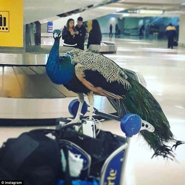 American Airlines' new support animal guidelines will go into effect on July 1 (pictured is a service animal peacock)