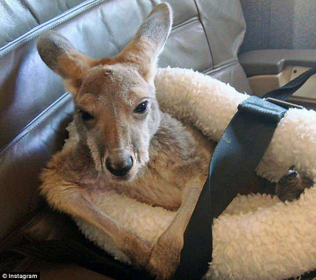 American Airlines will now also require all service animals to be kept on a leash or harness throughout the flight (Pictured is a kangaroo service animal)